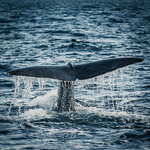 Save the whales - whale watching in Andenes
